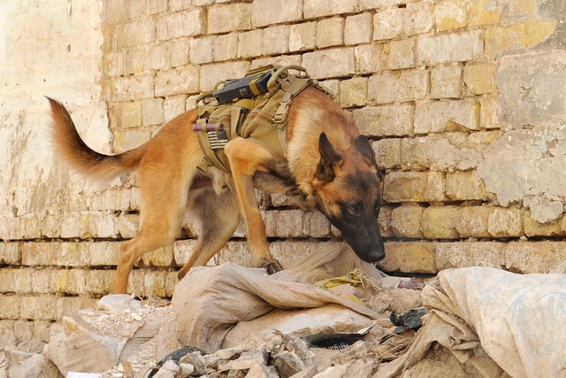 0420-0908-2801-4209_u_s_army_military_working_dog_searching_rubble_outside_a_building_in_iraq_m