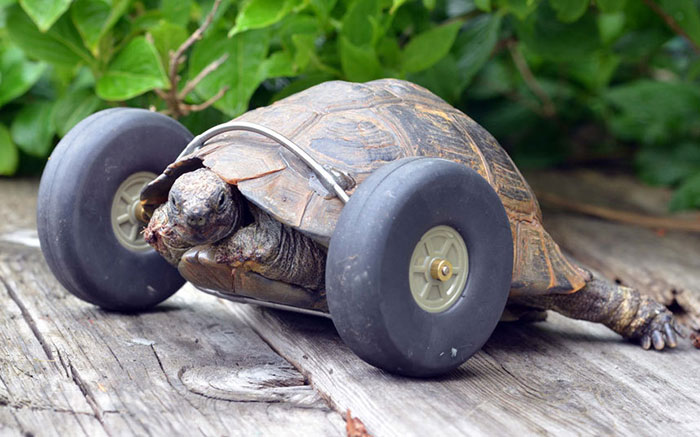 90-year-old-Tortoise-Ninja-Fast-Half-Cyborg-After-Wheels-Replace-Legs-Lost-in-Rat-Attack2__700